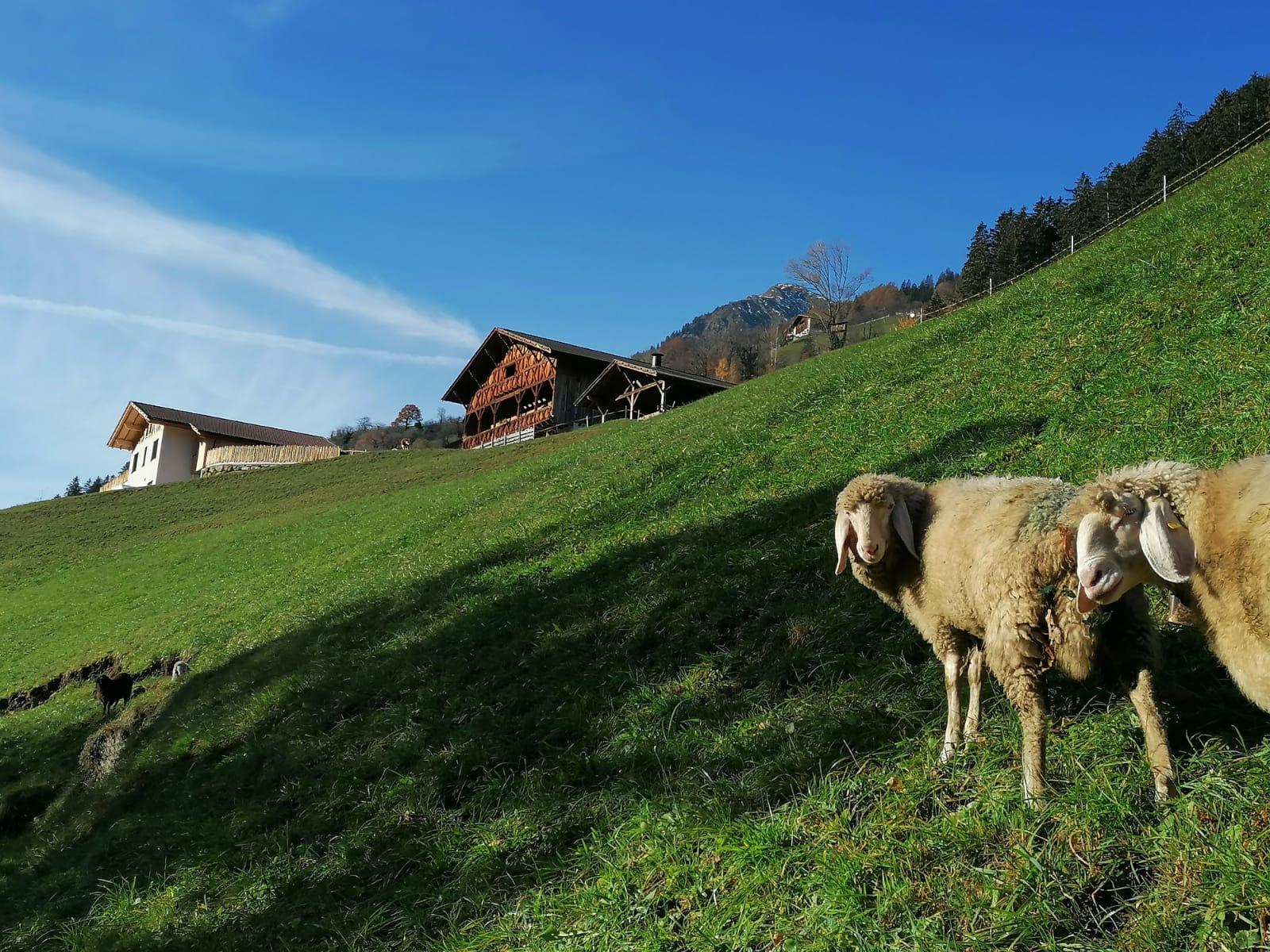 Aigner mit Schafe